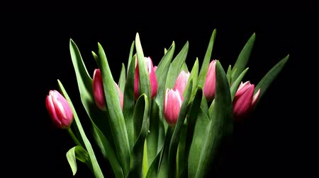 tulipany : Time-lapse of tulip(Tulipa sp.)flowers blooming. Studio shot over black.