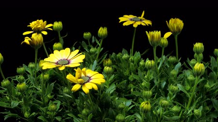 vivo : Time-lapse of African DaisyCape Marigold (Osteospermum ecklonis var.) flowers blooming.