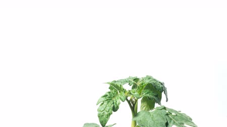 Time lapse of a young tomato plant. Studio shot over white.