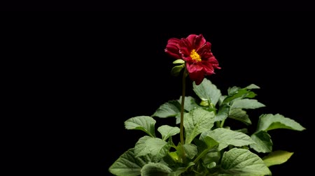 Time-lapse of a dahlia(Dahlia sp.) blooming. Studio shot over black.