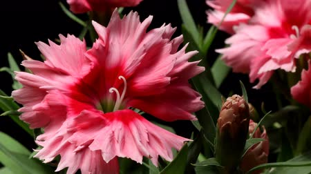 vivo : Time-lapse of dianthus(Dianthus barbatus) flowers blooming. Studio shot over black. Stock Footage