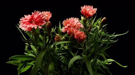 Time-lapse of dianthus(Dianthus barbatus) flowers blooming. Studio shot over black. Wideo