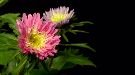 Time-lapse of aster(Aster sp.) flowers blooming. Studio shot over black.