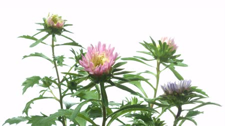 Time-lapse of aster(Aster sp.) flowers blooming. Studio shot over white. Wideo