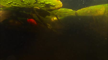 Goldfish swimming among water lily stems. Underwater. Wideo