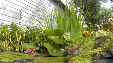 A small group of sparrows drink from an urban backyard water garden. Wideo
