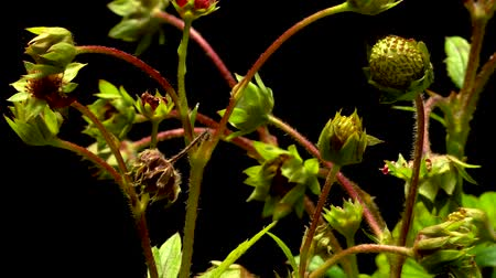 Time-lapse of strawberries growing and ripening. Studio shot over black. Wideo