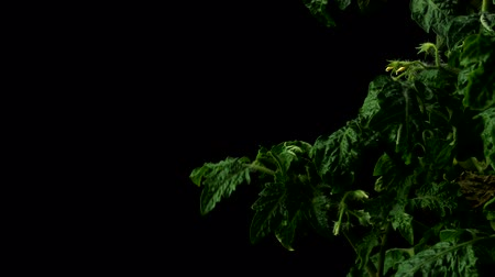 tomate : Time-lapse of tomato leaves and flowers growing. Studio shot over black.