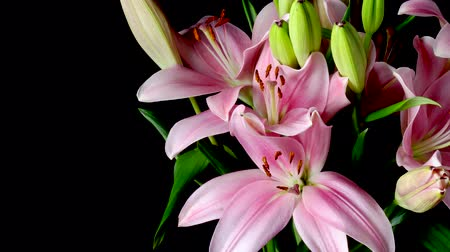 Time-lapse of pink Asiatic lily flowers blooming. Studio shot over black. Wideo