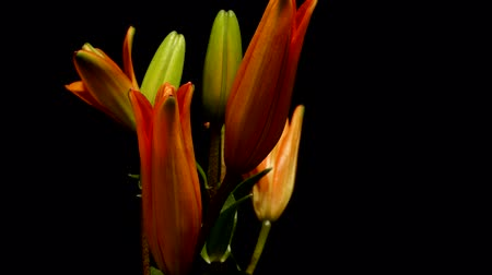 Time-lapse of orange Asiatic lily flowers blooming. Studio shot over black.