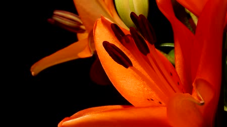 kokulu : Time-lapse of orange Asiatic lily flowers blooming. Studio shot over black.