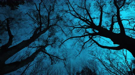mamut : A cinematic timelapse shot of a forest at night looking up through the tree tops at the overcast beautiful teal night sky as the clouds fly overhead and the wind pushes the branches back and forth and all around.