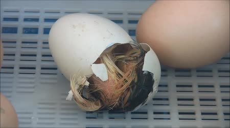 just born : chick is trying to get out from the shell of the egg