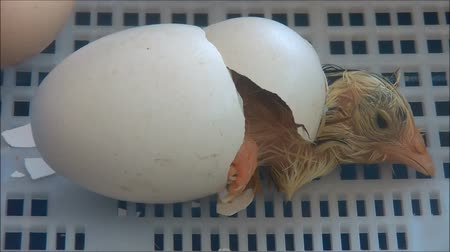 just born : chick is coming out from the egg shell Stock Footage