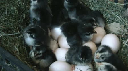 just born : Chicks just born and eggs