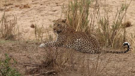 pardus predator : Leopard laying in the grass