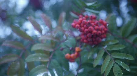 rowanberry : of rowan berries and leaves close-up, HD.