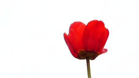 tulipany : Beautiful bright red tulip on white background, slow motion. 1920x1080