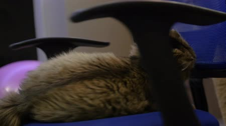 gruel : Twist a fluffy cat on an office chair. 3840x2160, 4K