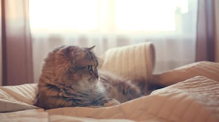 A fluffy funny cat lies on the bed and plays with a hand under the veil. HD,