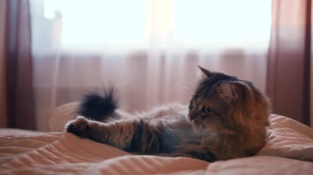 A fluffy funny cat lies on the bed and plays with his hand under the veil, ruffling his mustache and wagging his tail. HD, Stok Video