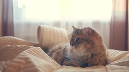 A beautiful fluffy cat lies in the bedroom on the bed, watching. slowmotion, HD,