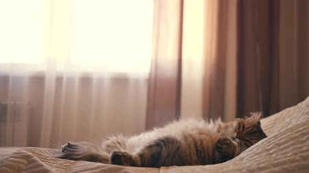 The fluffy funny cat sleeps in the bedroom on the bed on the back, and wakes up. HD,