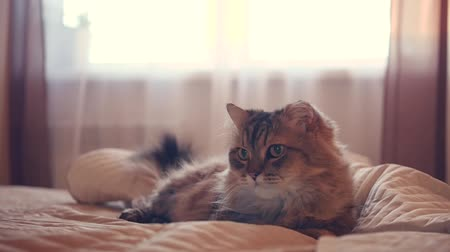A fluffy cat lies on the bed in the background of the window, wagging its tail. HD Stok Video