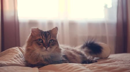 A fluffy cat lies on a bed in the background of a window, wags its tail, looks around. HD