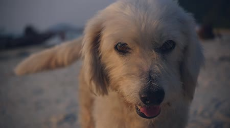 cauda : A nice kind stray dog walks along the beach at sunset directly to the camera, wagging his tail. slow motion,