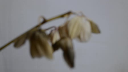 ölen : Camera focus focuses on the flower of a faded orchid
