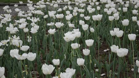 abrótea : Flowerbed with white tulips swaying in the wind