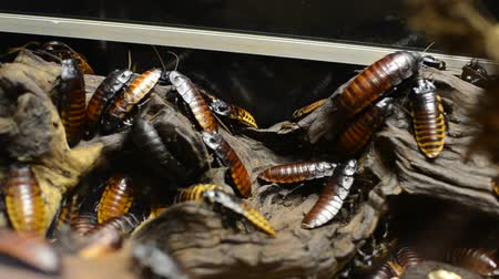 madagaskar : A family of huge cockroaches on a tree