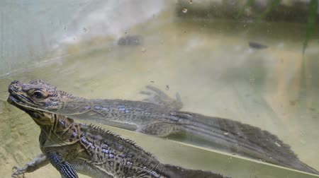 iguana : Large lizard in the water in a terrarium Stock Footage