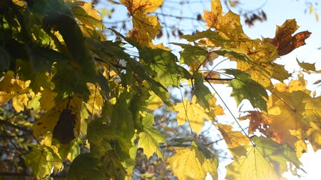 leafs : Yellow maple leaves in autumn sunny day