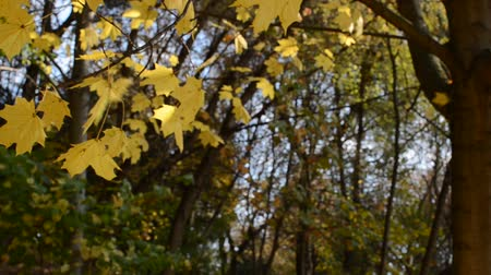 リーフス : Yellow maple leaves in autumn sunny day