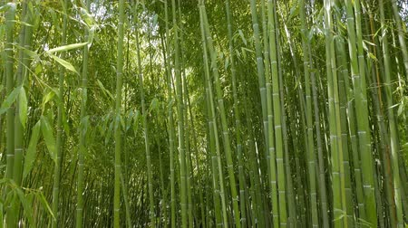 bamboo forest : Trunks of bamboo. Arboretum Sochi, Russia Stock Footage