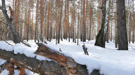 snag : Dry tree in the snow. Winter forest. Slider