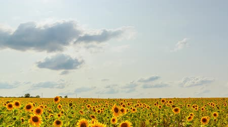 girassóis : Field of sunflowers in sunny weather. HDR, Backlight
