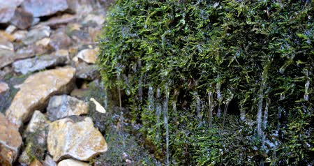 liken : Clear water drops dripping on the green moss