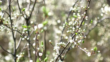 florescência : Early spring, unopened white flowers on the branches of a fruit tree
