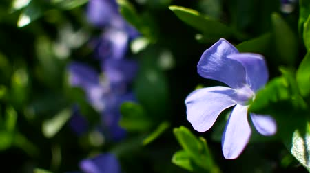 lesser : Common periwinkle. Violet flower on green meadow. Concept springtime