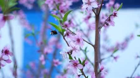 wasp : Delicate pink peach blossoms in spring.