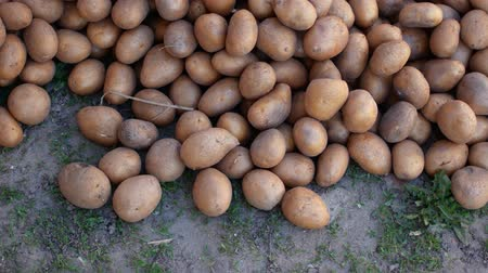 tisztított : Country potatoes are poured on the ground.