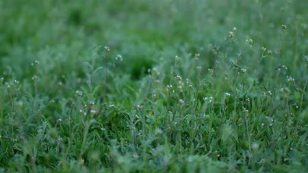 sapları : Green grass in the yard in the spring.