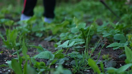 dacha : Weeding strawberries in the spring. The Ukrainian Village Stock Footage