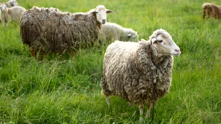 ewe : Sheep with lamb looking at the camera and bleats. Stock Footage