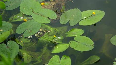 rana : River lily, green leaves on the water.