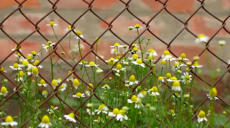 farpa : chamomile grows next to iron mesh. Stock Footage