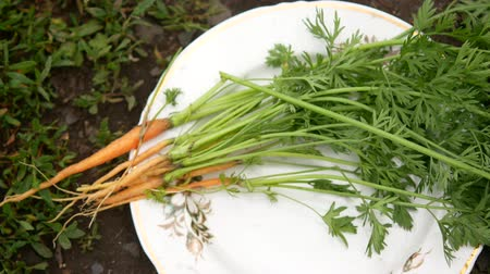 baluchon : Bundle of carrots with soil lies on a plate on the ground